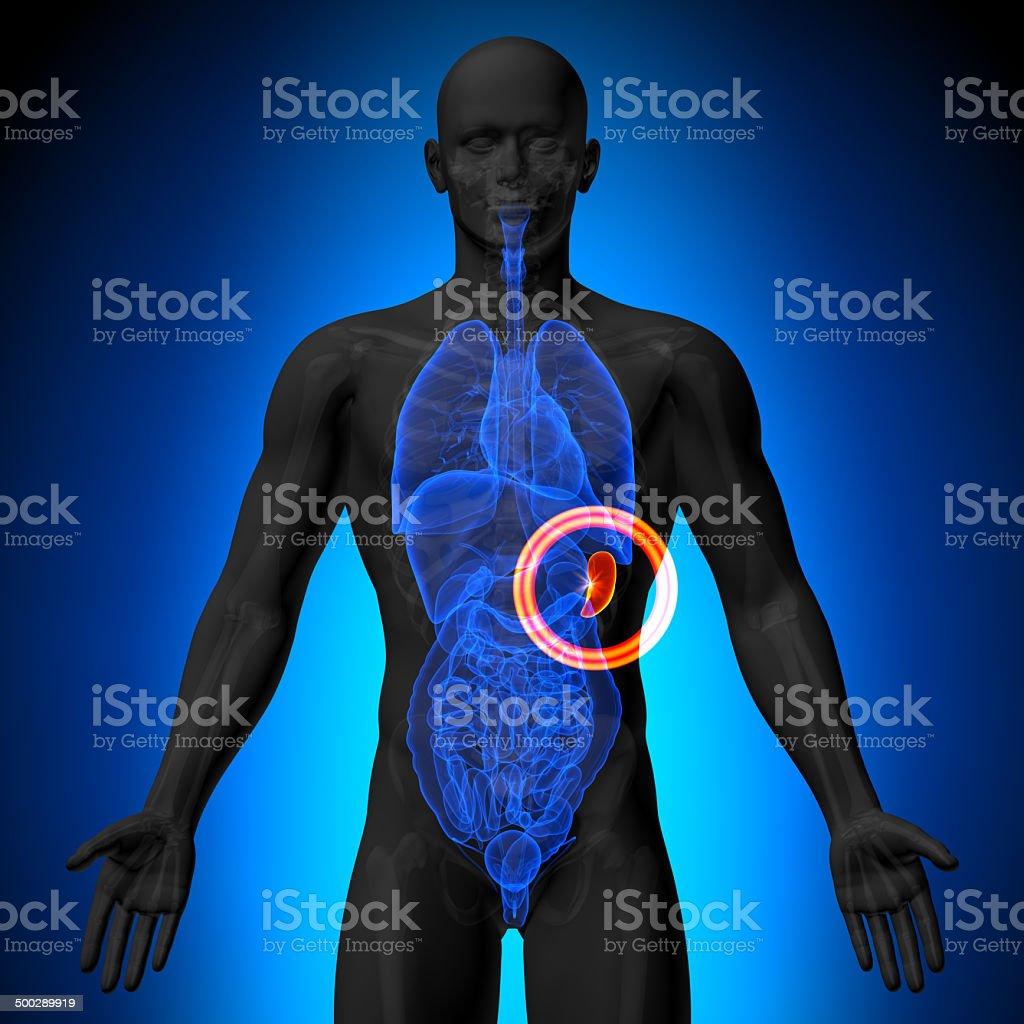 Spleen - Male anatomy of human organs - x-ray view stock photo