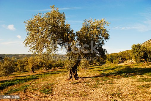 1135138312istockphoto Splendid centenarian trees, olives producing excellent olive oil 953516930