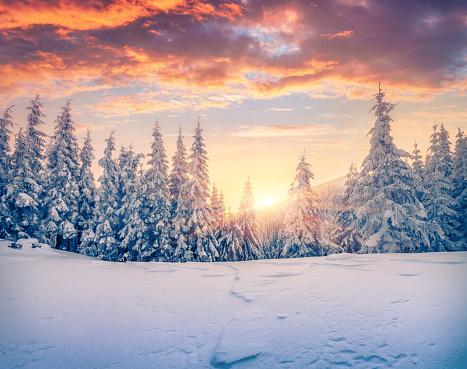 Splendid Christmas scene in the mountain forest.