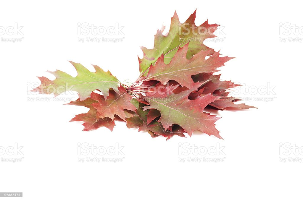 Splendid colorful leaves on a white. royalty-free stock photo