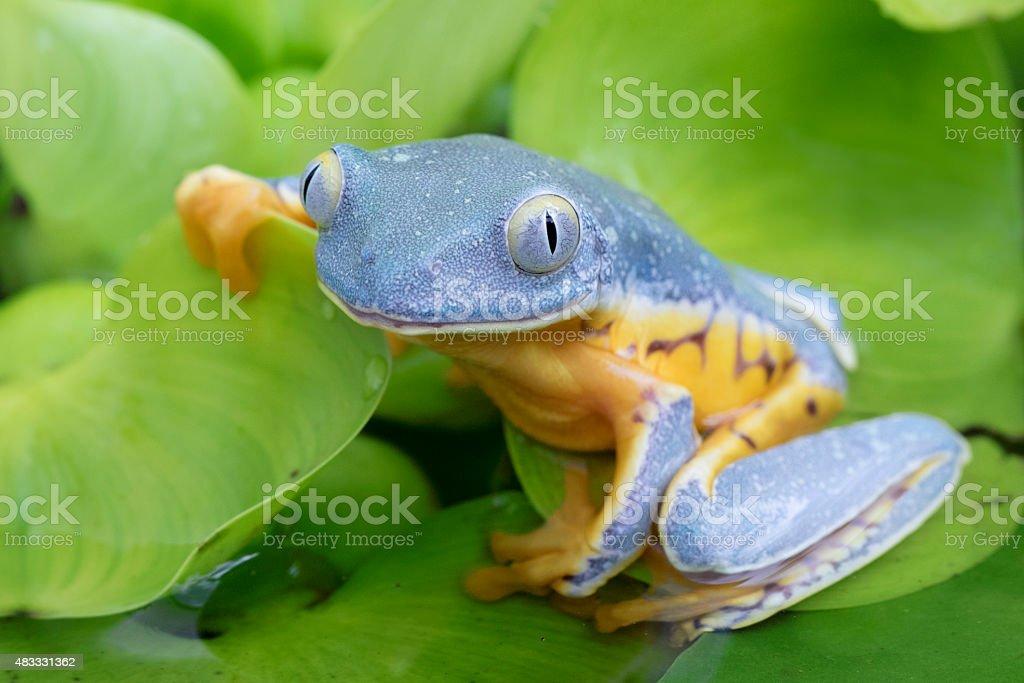 Splendid Leaf Frog Smiling royalty-free stock photo