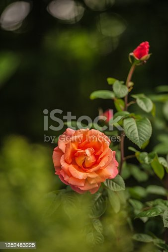 Splendid Rose in Orange and Yellow Color Blooming in the Garden