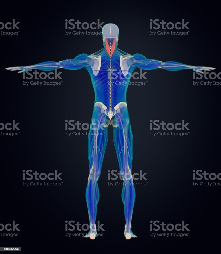 Splenius Capitis Neck Muscles Stress Human Anatomy 3d Illustration