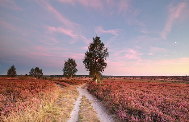 split path at sunset and heather flowers split path at sunset and heather flowers, Wilsede, Germany lower saxony stock pictures, royalty-free photos & images