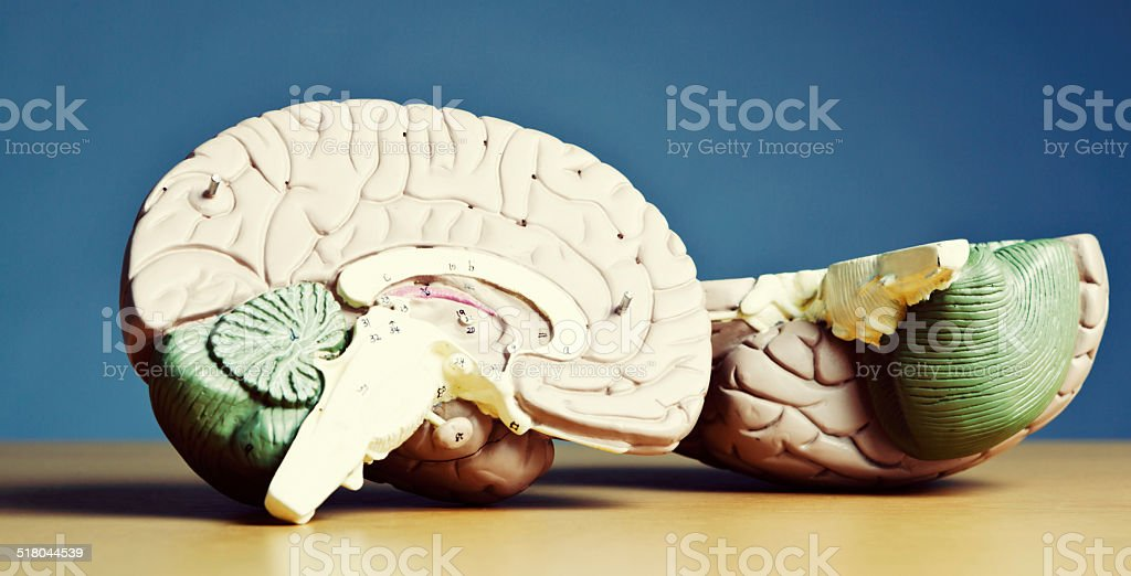 Split personality? No, it's a bisected medical brain model! stock photo