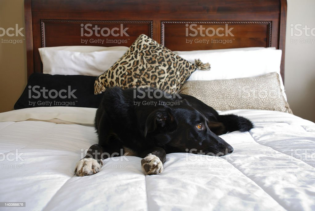 Bed 140 Breed.Spoiled Border Collie Dog Laying On Bed Stock Photo