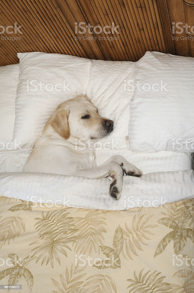 Spoiled Dog and Puppy Dreams royalty-free stock photo