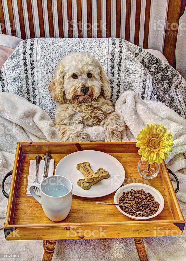 Spoiled Dog Enjoys Breakfast In Bed stock photo