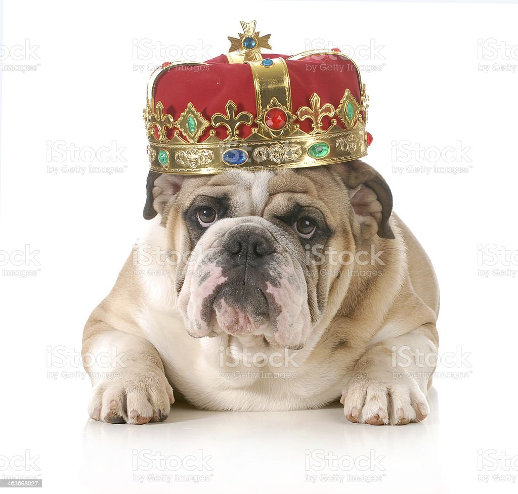 spoiled dog stock photo