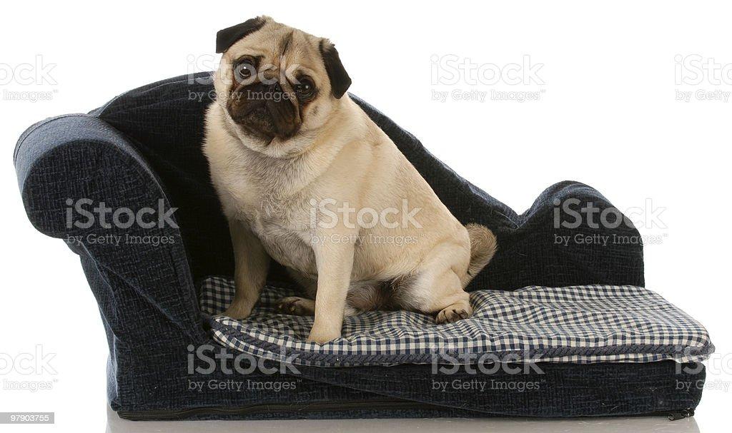 spoiled dog royalty-free stock photo