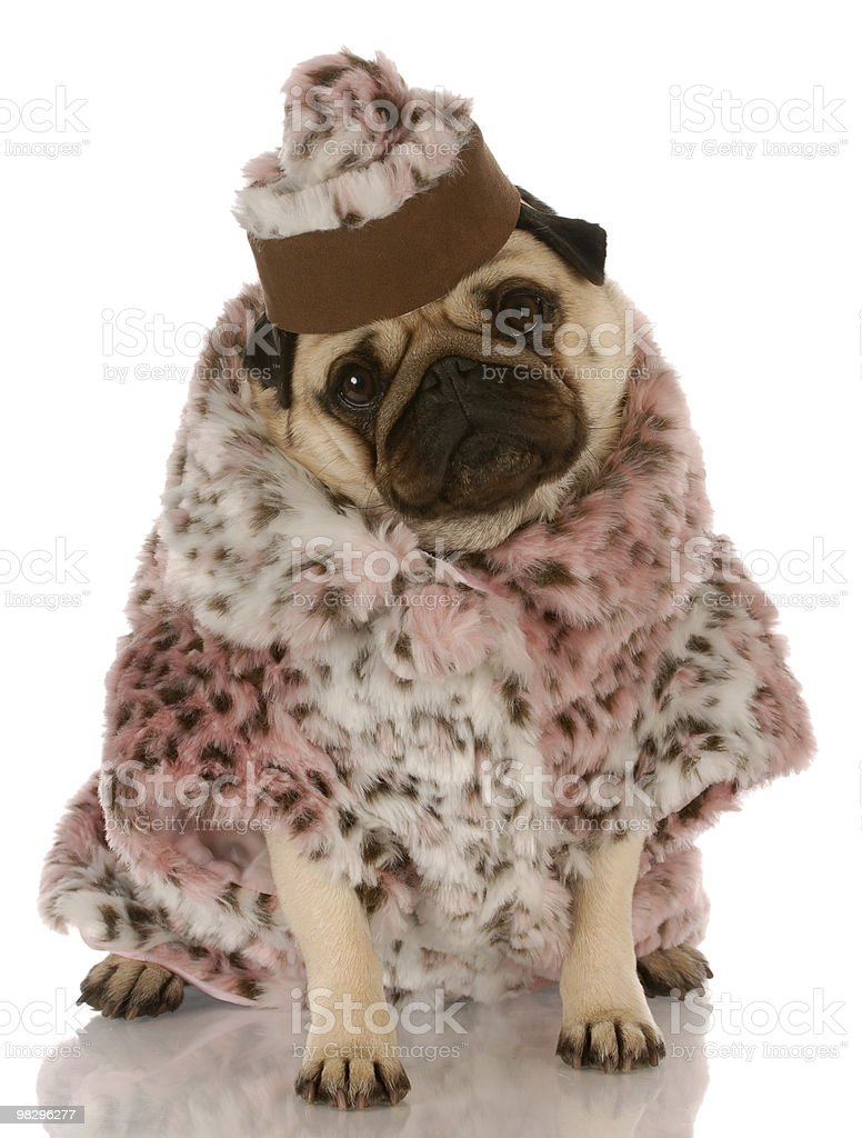 spoiled dog royalty-free stock photo