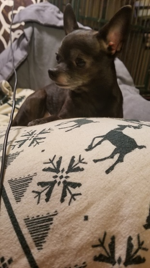 Cute chihuahua pet dog