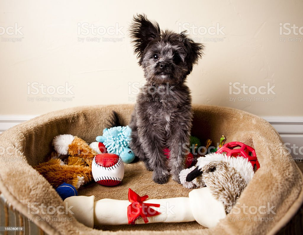 Spoiled Yorkiepoo Puppy Sitting in Bed of Toys stock photo