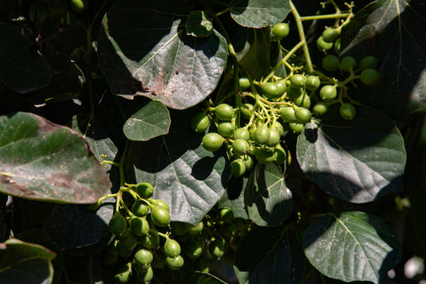 Spontaneous plant of Greek capers. stock photo