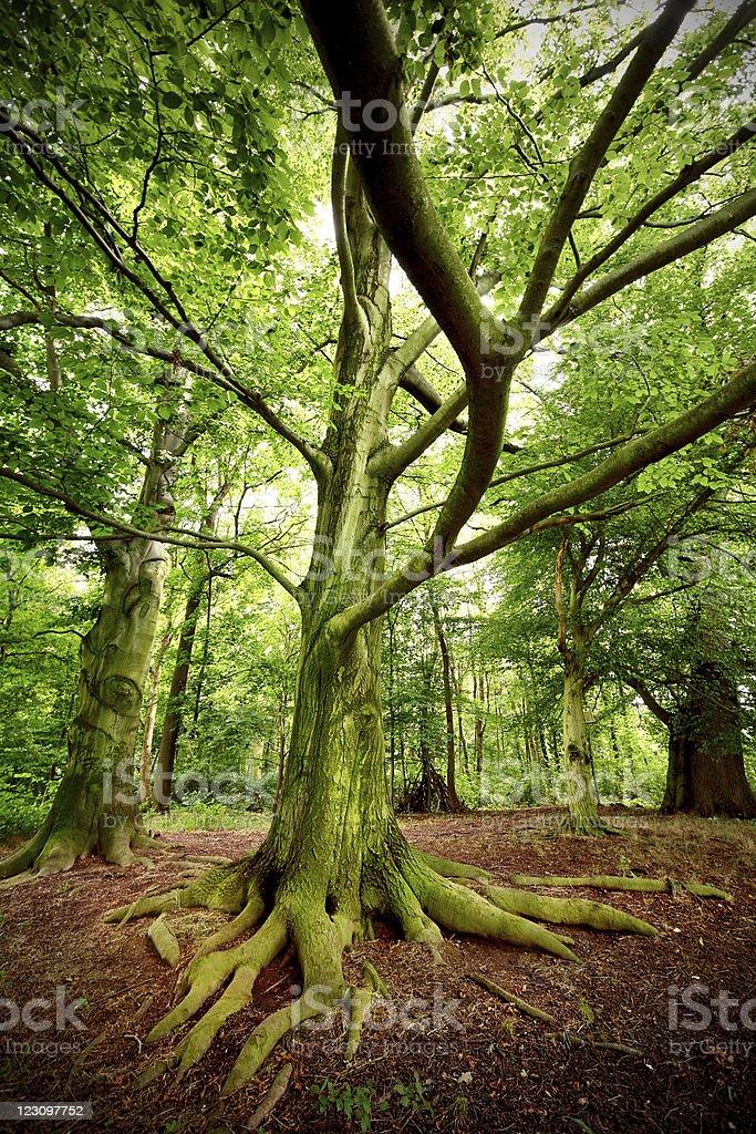 spooky old tree royalty-free stock photo