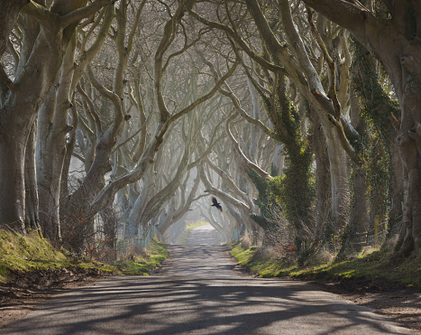 Tree lined road in County Antrim in Northern Ireland looks particularly eerie on a misty winter morning