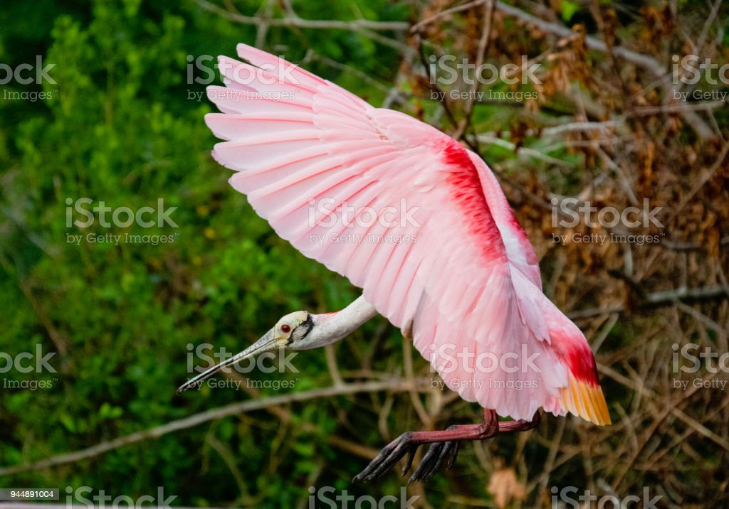 Spoonbill about to land stock photo