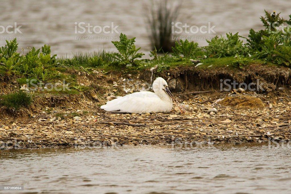 Spoonbill at Pennington Marshes stock photo