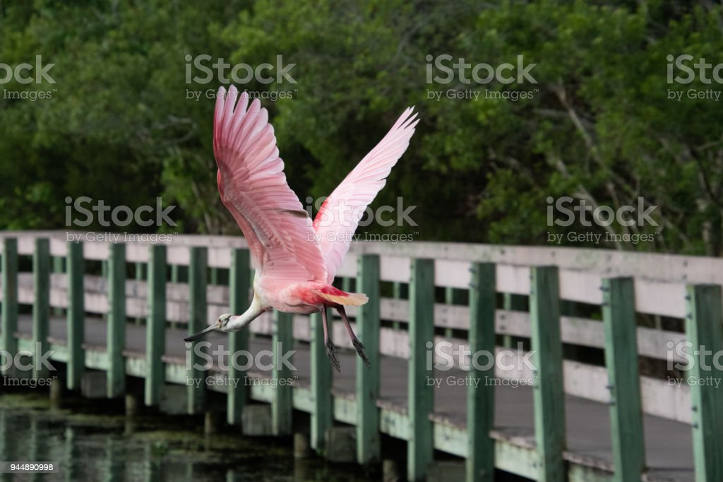Spoonbill flying over lake stock photo