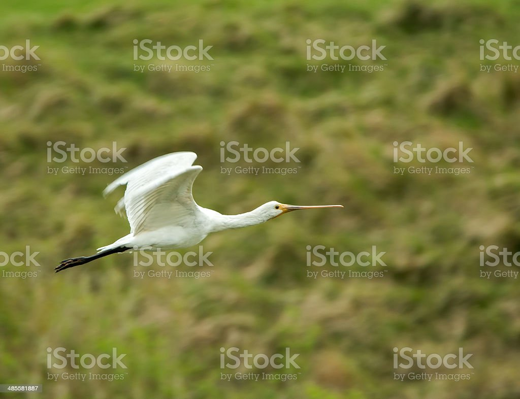 Spoonbill Flying stock photo