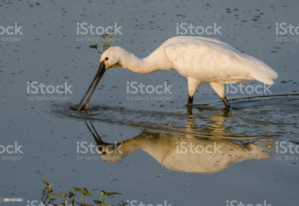 Spoonbill foto stock royalty-free