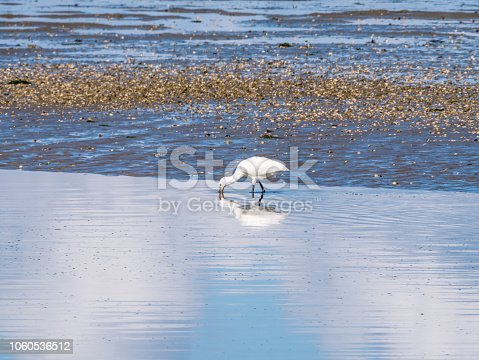 Eurasian spoonbill, Platalea leucorodia, foraging by wading in shallow water on Wadden Sea coast in Netherlands