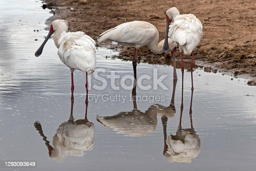 a Flock of Spoonbills reflecting in a river in the Pilanesberg National Park, South Africa