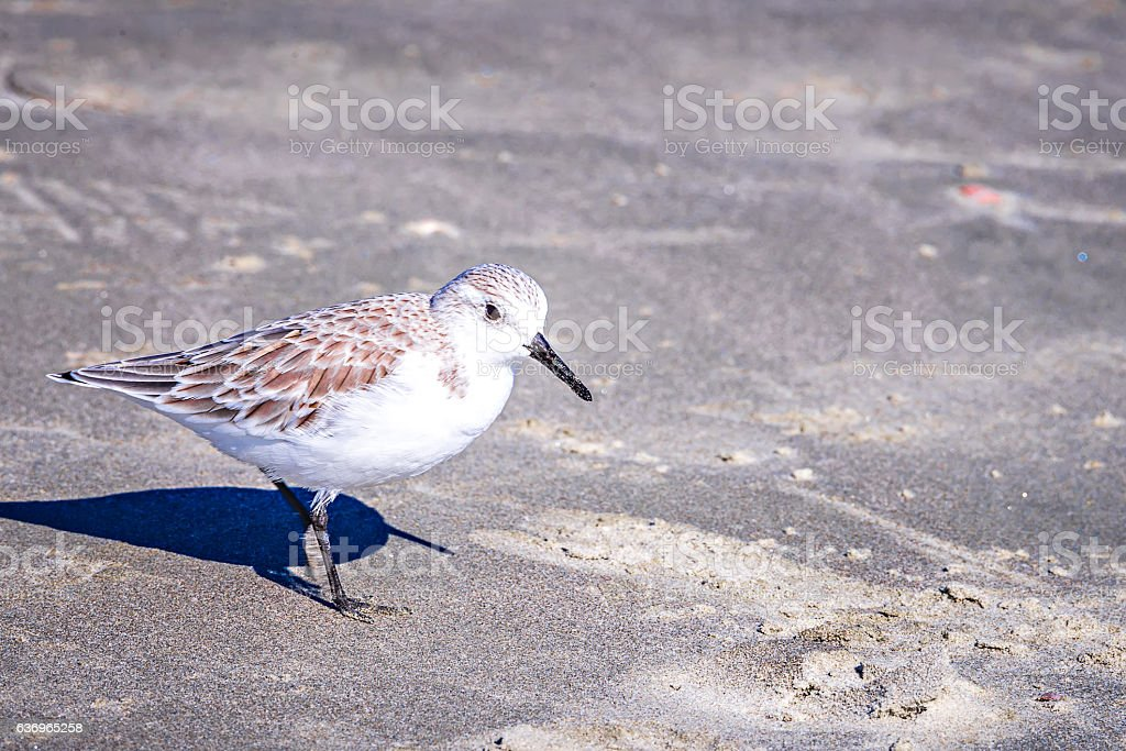 Spoon-billed Sandpiper and shorebirds at the south carolina beac stock photo