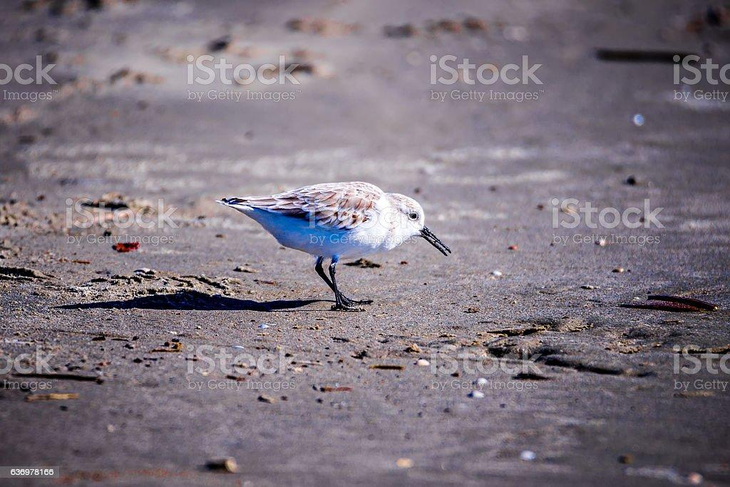 Spoon-billed Sandpiper and shorebirds at the south carolina beac stock photo