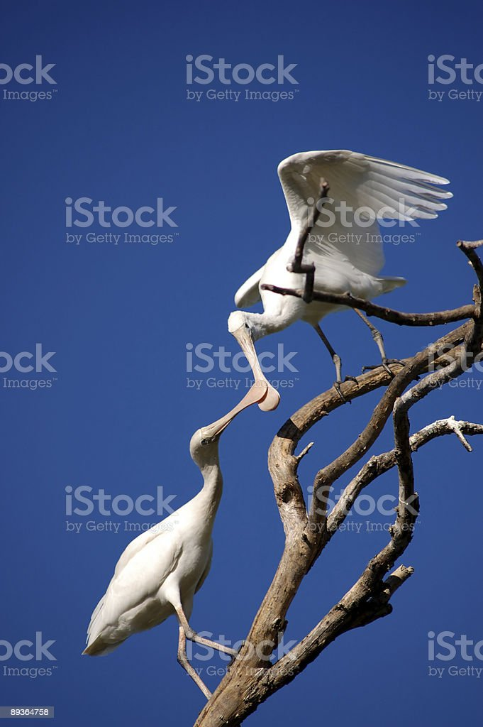 Spoonbills at Play Part II royaltyfri bildbanksbilder