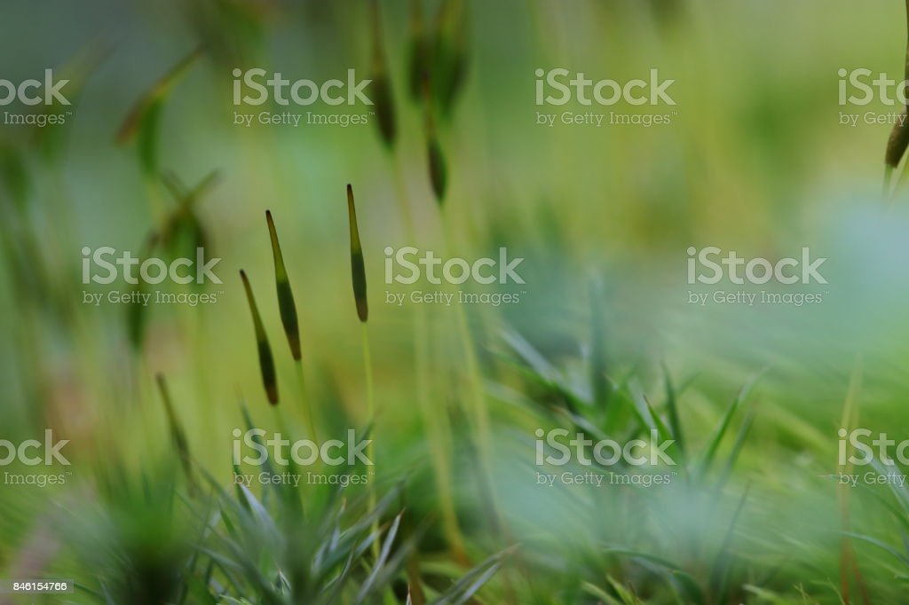 Esporangio de los musgos - foto de stock