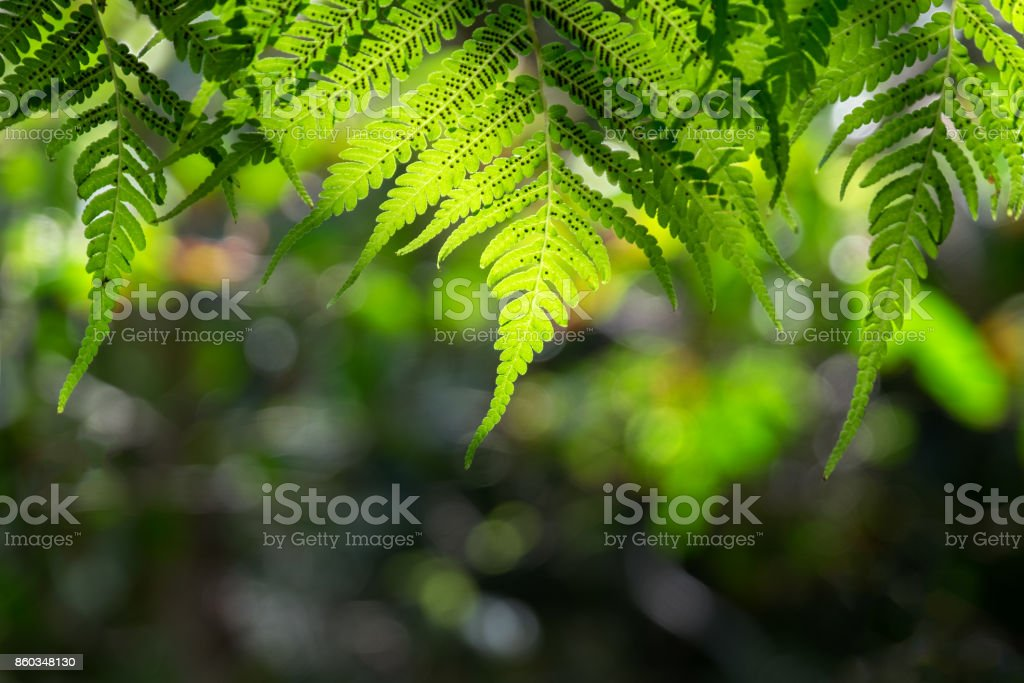 Spores on back of fern stock photo