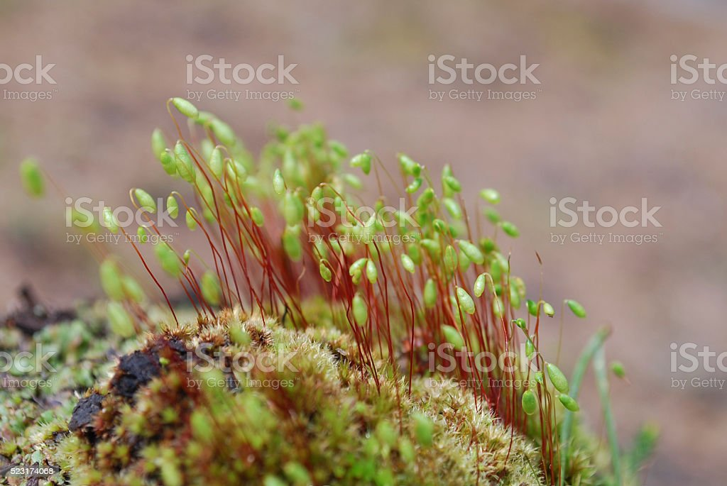 Sporophyte of Capillary Thread-moss (Bryum capillare). stock photo