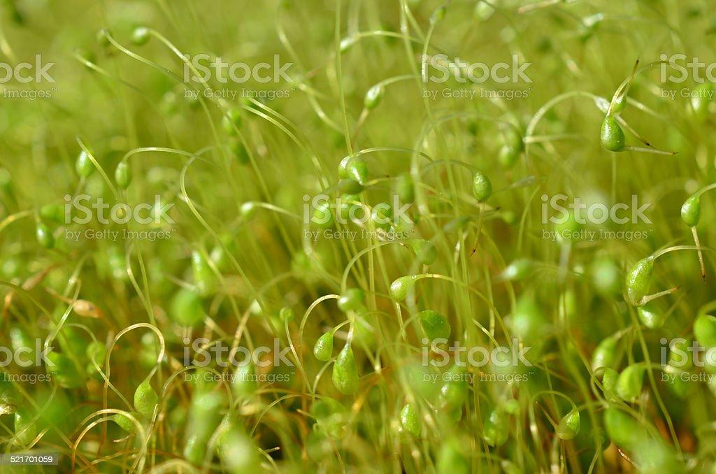Sporophytes stock photo