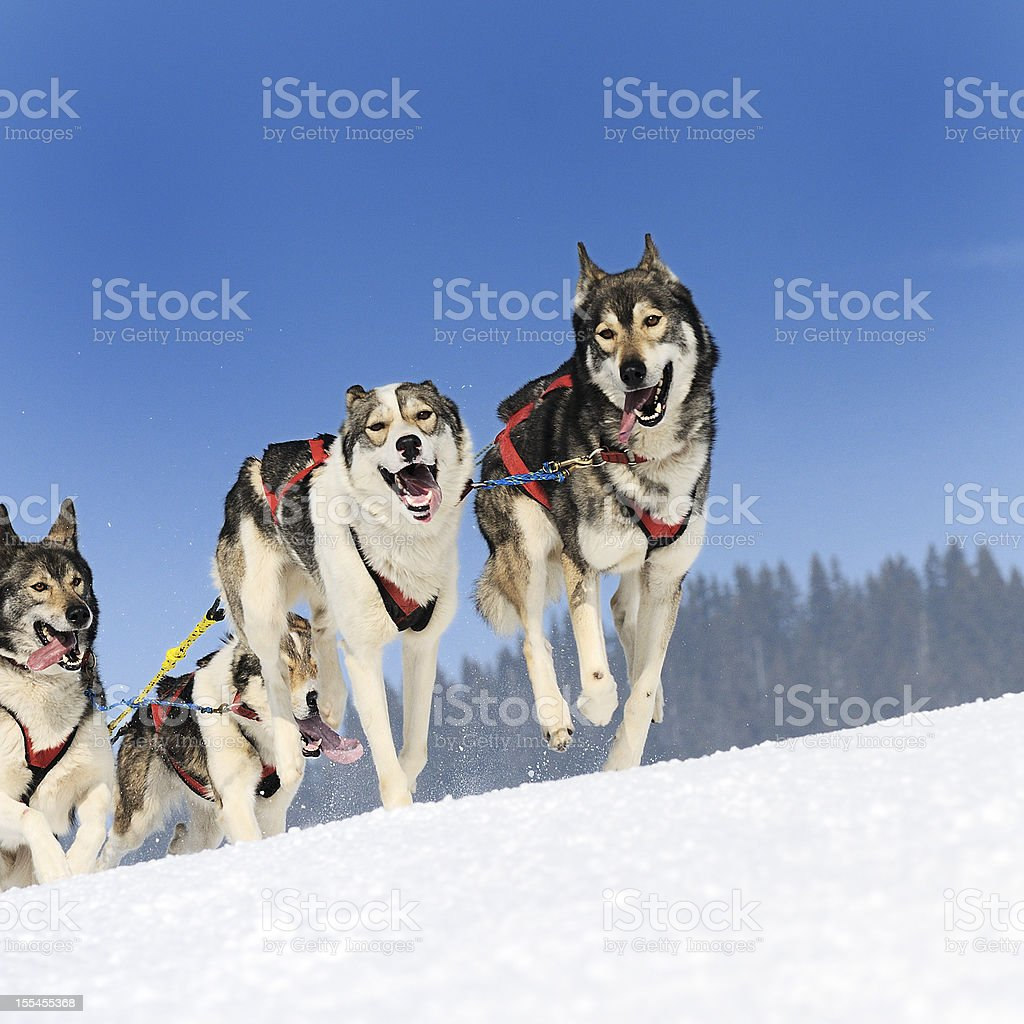 sportive dogs royalty-free stock photo