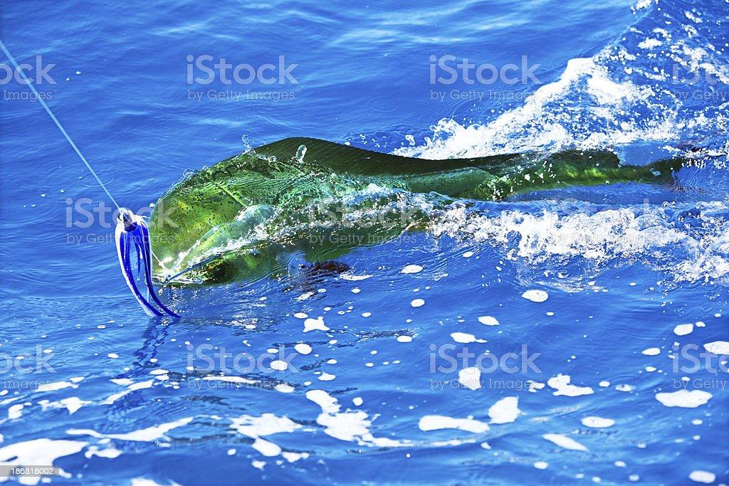 Sports: Dorado Fish on the line stock photo