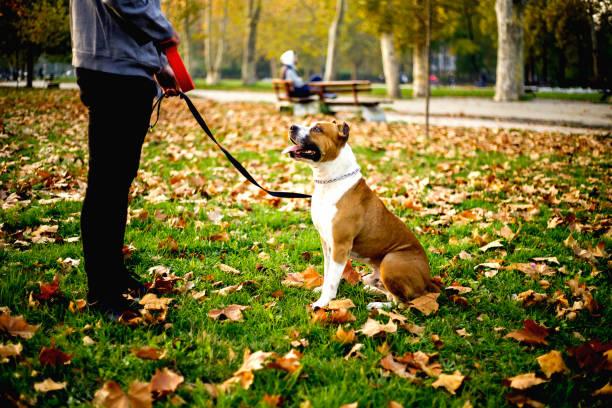 sportler mit seinem hund im herbst park - französisch übungen stock-fotos und bilder