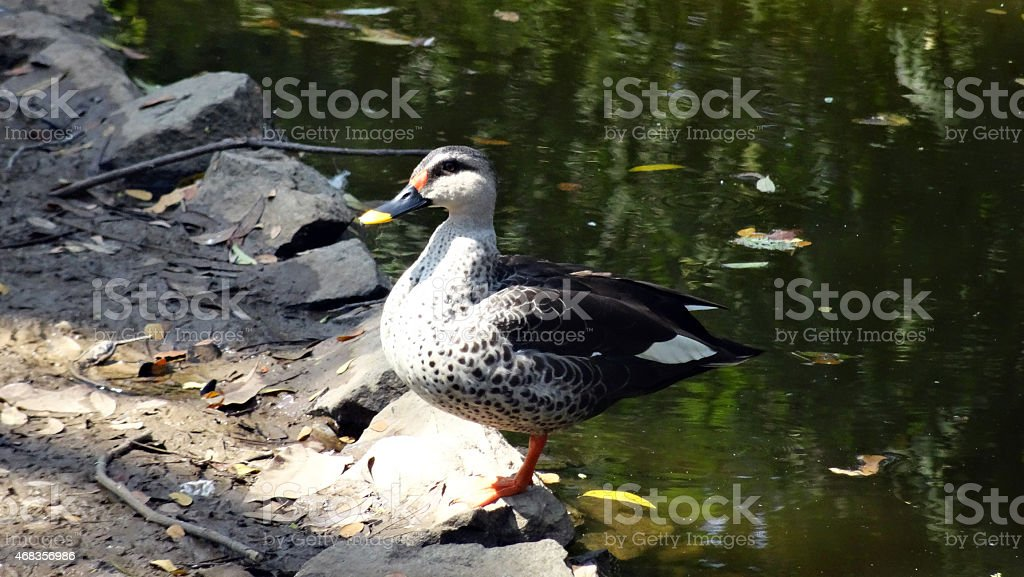 Spot billed duck or spotbill royalty-free stock photo
