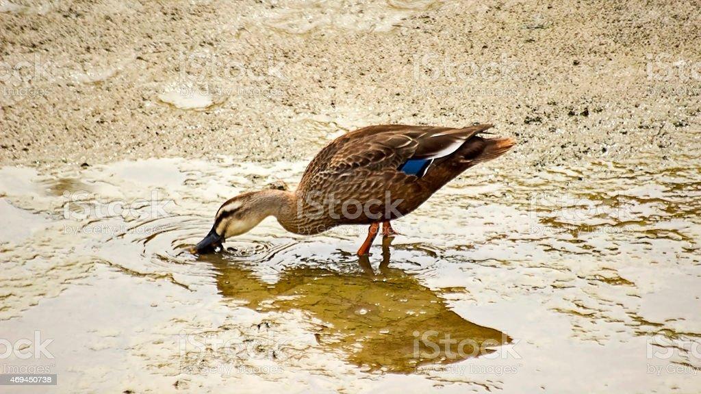 Spot Billed Duck's Feeding on the Stream. stock photo