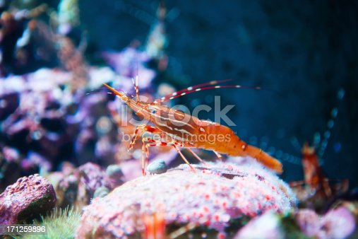 Live spot prawn sitting on a coral reef.