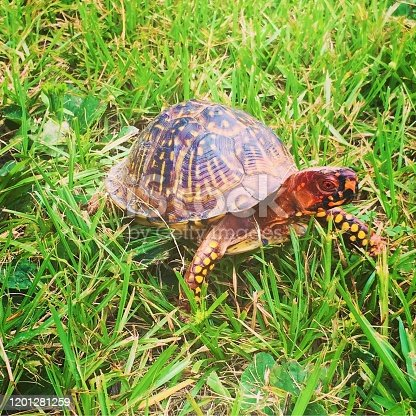 Box Turtle walking in the grass