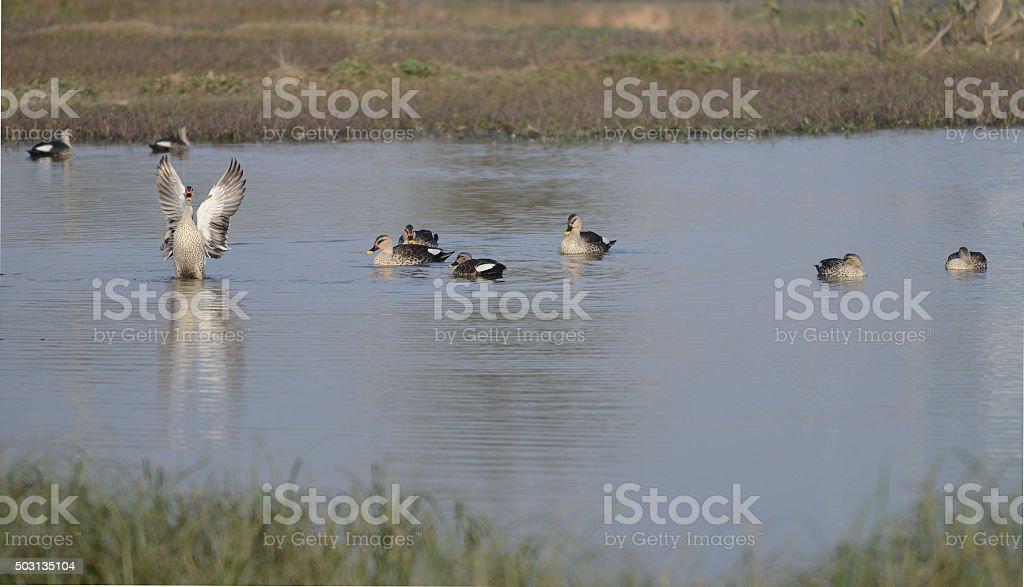 Spot-billed Ducks stock photo