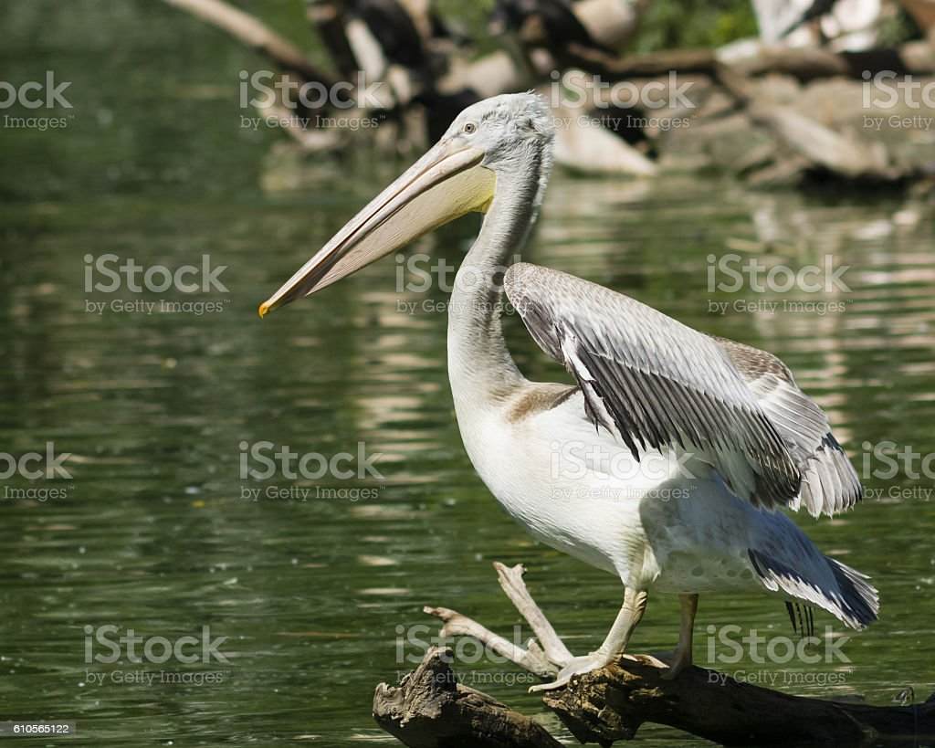 Spot-billed or grey pelican, Pelecanus philippensis, close-up portrait, selective focus stock photo