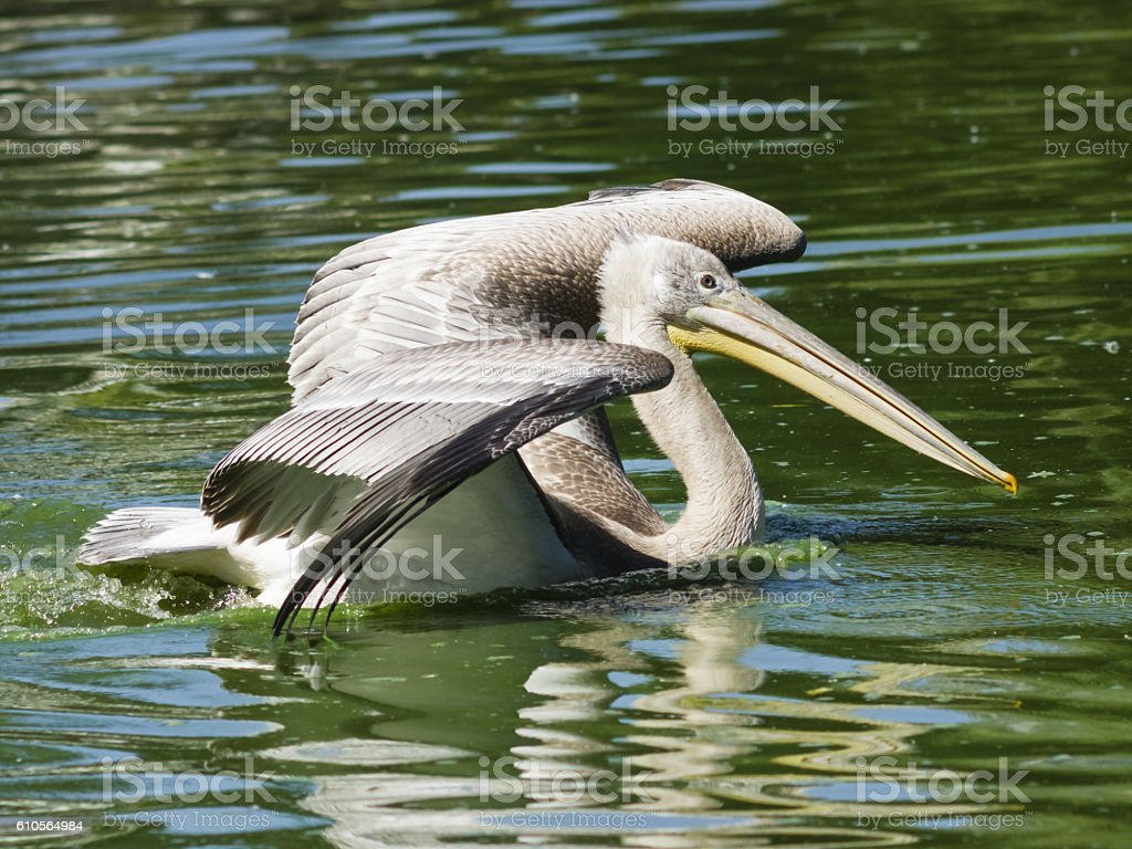 Spot-billed or grey pelican, Pelecanus philippensis, swimming, close-up portrait stock photo