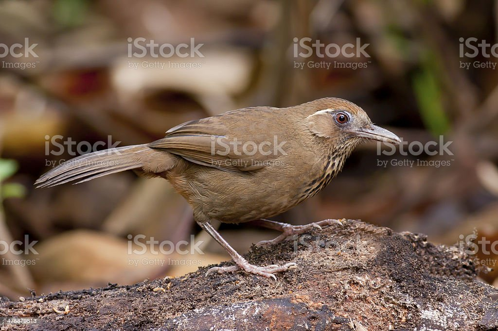 Spot-breasted Laughingthrush,Bird of Thailand Spot-breasted Laughingthrush,Bird of Thailand Alertness Stock Photo