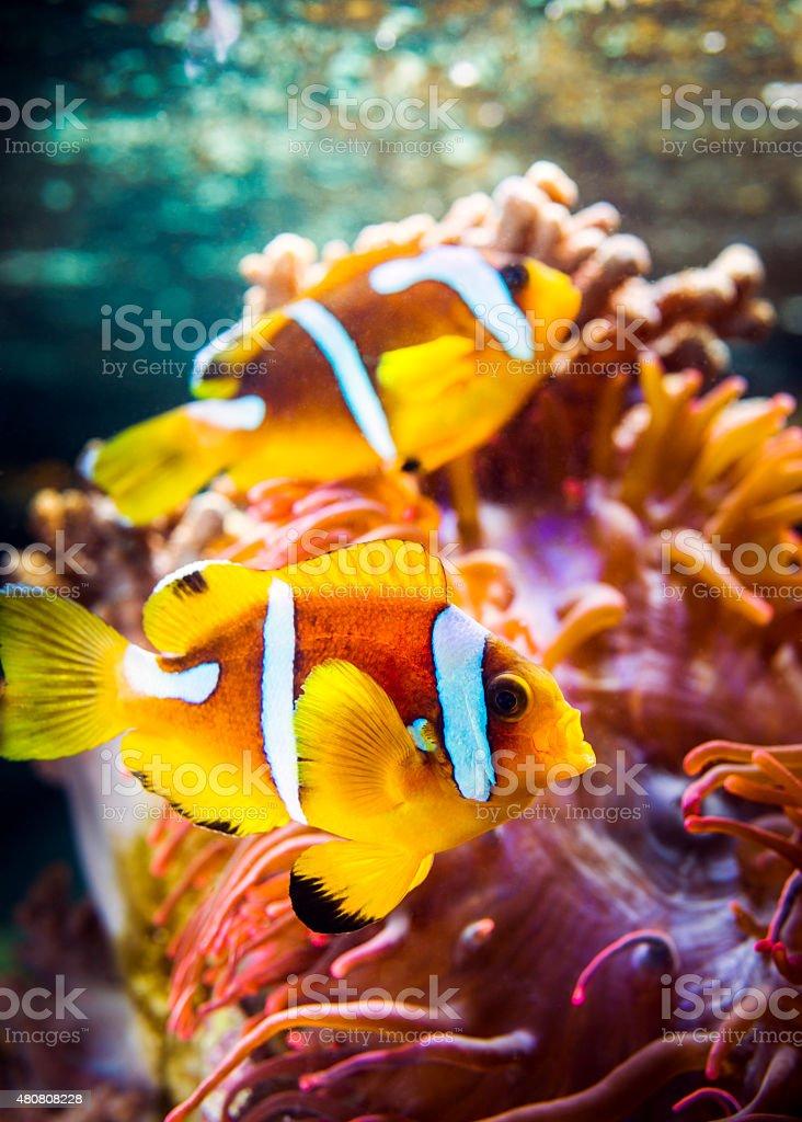 Spotcinctus Clownfish Pair stock photo