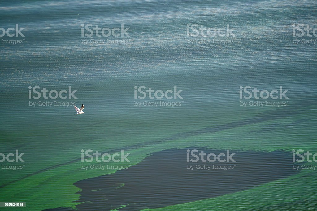 Spots of green diatom algae on the surface of river water stock photo
