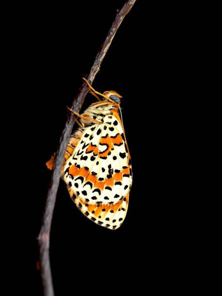 Spotted aka red band fritillary butterfly melitaea didyma just from picture id1159999347?b=1&k=6&m=1159999347&s=612x612&w=0&h=z4jux0 u0wg2jf4q6f07bchdcdq5l1vrhfqaqshq2q8=