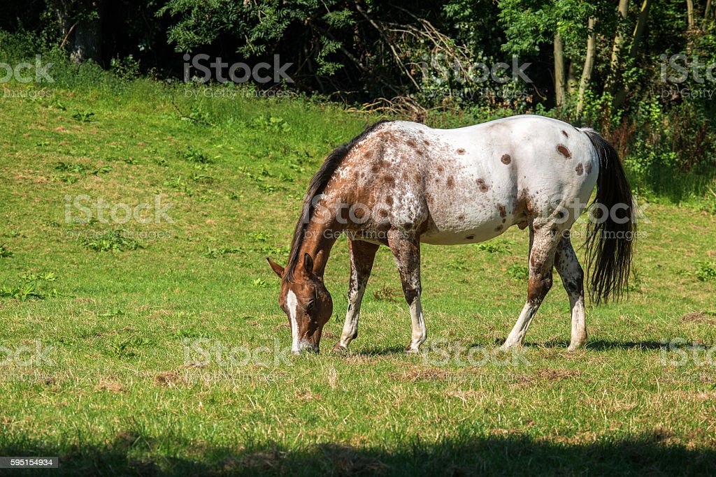 spotted appaloosa horse  grazes on the pasture stock photo