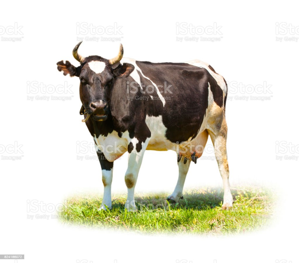 Spotted black and white cow full length isolated on white stock photo
